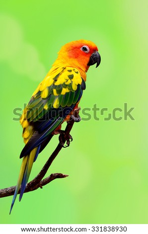 Sun Parakeet or Sun Conure, the beautiful yellow and orange parrot bird perching on the branch with nice feathers details isolated on blur green background - stock photo