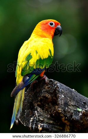 Sun Parakeet or Sun Conure, the beautiful yellow parrot bird standing on the log with nice green background - stock photo