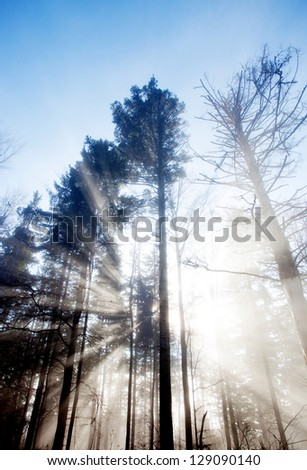 sun rays crossing a misty forest - stock photo