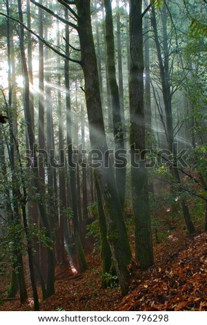 Sun rays fall into the mossy forest, Northern California