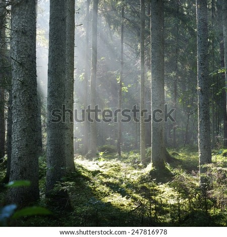 Sun rays in a fog in the forest. Latvia - stock photo