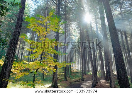 sun rays in autumnal pinewood of Etna Park, Sicily - stock photo