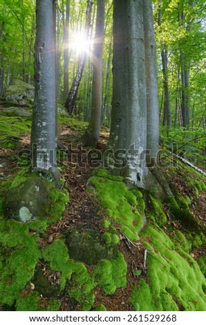 Sun rays in the forest. Spring landscape. Beautiful moss on trees and rocks - stock photo