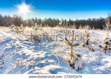 Sun rays in winter forest pine woods. Russian nature