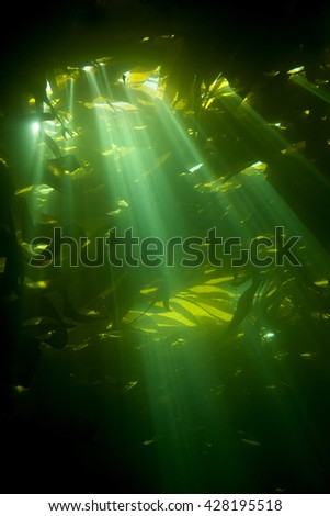 Sun rays pierce the canopy of kelp, also known as brown algae, which is an essential plant to sustain life within reef systems. - stock photo