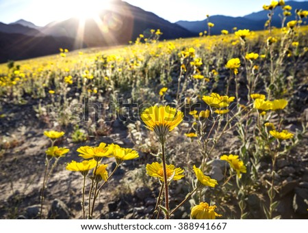 Sun rays shining on desert gold flowers in Death Valley National Park during the 2016 wildflower bloom