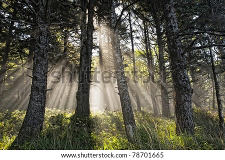 Sun rays shining though to the forest floor on a misty day. - stock photo