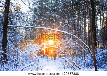Sun rays sunset in winter forest woods between the trees strains. Russian nature - stock photo