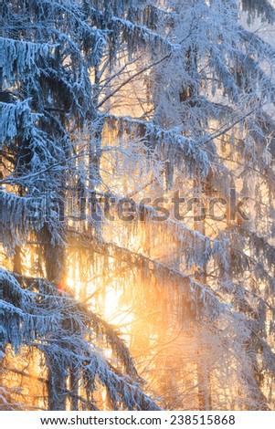 Sun rays through frosty trees - stock photo