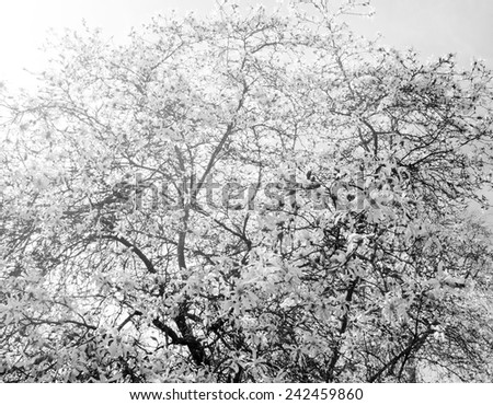 Sun rays through Magnolia tree in blossom in the park. Aged photo. Black and white. - stock photo