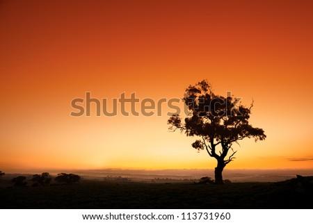 Sun rises behind an Australian gum tree - stock photo