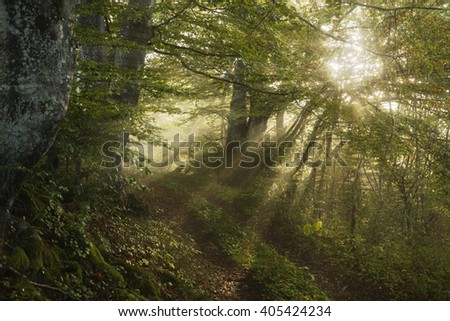 Sun's rays shining through the trees in the foggy forest. - stock photo