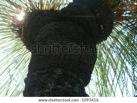 sun shining through foliage of black boy - stock photo