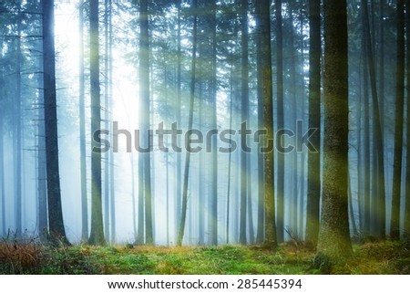 Sun shining through mysterious fog in the green forest with pine trees - stock photo