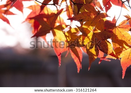 Sun through Golden Autumn Leaves