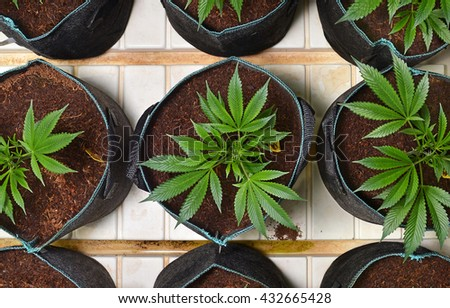 SUN VALLEY, CA - MAY 26, 2016: Overhead shot of marijuana plants in round pots in a marijuana grow room at a medical marijuana dispensary in Sun Valley, CA on May 26, 2016.