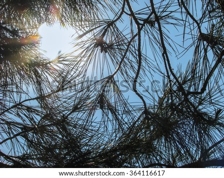 Sun which is shining through pine needles. Blue clear sky.