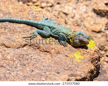 Sunbath - lizard closeup - stock photo