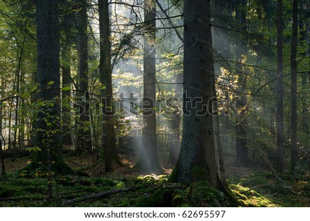 Sunbeam entering coniferous stand in autumnal morning with old spruces