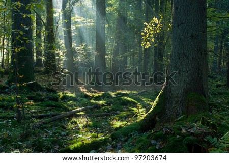 Sunbeam entering mixed stand in autumnal morning with old spruce in foreground - stock photo