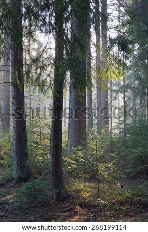 Sunbeam entering rich coniferous forest misty morning with old spruce and pine trees - stock photo