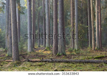 Sunbeam entering rich coniferous forest misty morning with old spruce and pine trees,Bialowieza Forest,Poland,Europe