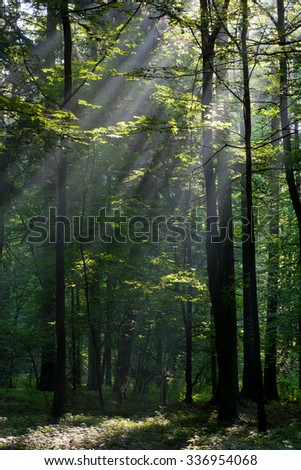 Sunbeam entering rich deciduous forest in misty morning with old birch tree in foreground,Bialowieza Forest,Poland,Europe - stock photo