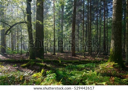 Sunbeam entering rich deciduous riparian stand in misty morning, just rain after, Bialowieza Forest, Poland, Europe