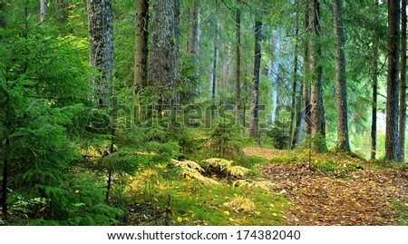 sunbeam in a dark pine forest scene - stock photo