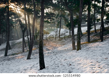 Sunbeam through a pine trees in the winter. - stock photo