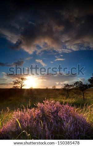 sunbeams at sunset over flowering heather, Drenthe, Netherlands - stock photo