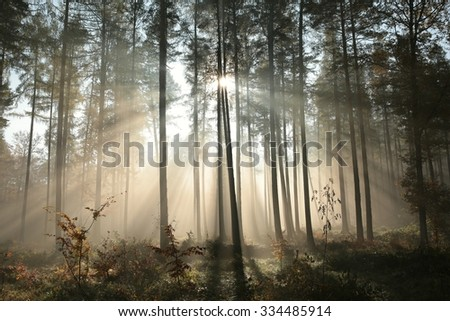 Sunbeams fall into the autumn coniferous forest.