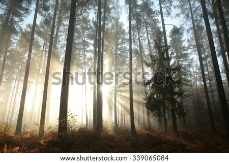 Sunbeams fall into the autumn coniferous forest. - stock photo