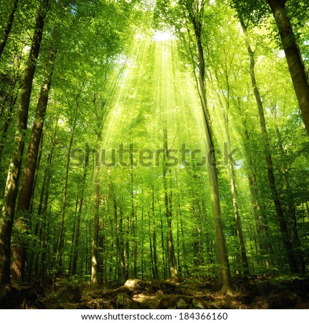 Sunbeams falling into a deciduous forest in a theatrical way and illumining the foliage - stock photo