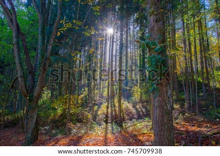 Sunbeams in the forest in late autumn in Alsace