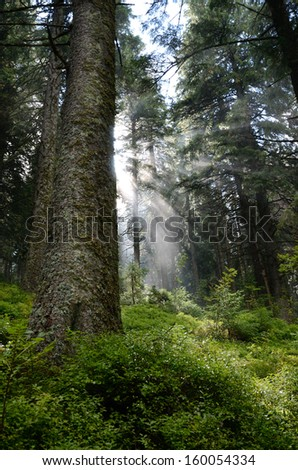 Sunbeams pass through the dense green foliage. There are massive stems of spruce and lush understory inside of coniferous forest in the Carpathian Mountains. - stock photo