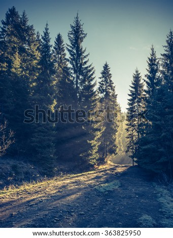 Sunbeams pour into the autumn conifer forest - stock photo