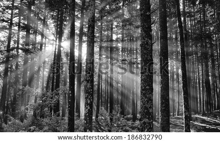 Sunbeams through the Trees, Black woods, Acadia National Park - stock photo