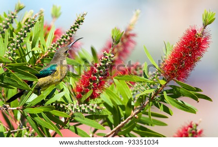 Sunbird with bright green wings sitting amongst red bottlebrush flowers