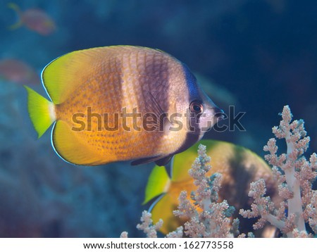 Sunburst butterflyfish in Bohol sea, Phlippines Islands - stock photo