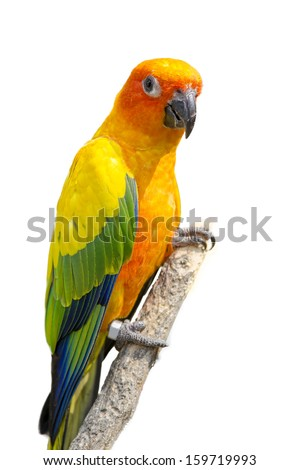 sunconure bird