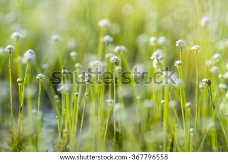 Sundew (Drosera) lives on swamps insects sticky leaves. Leaf of Sundew. - stock photo