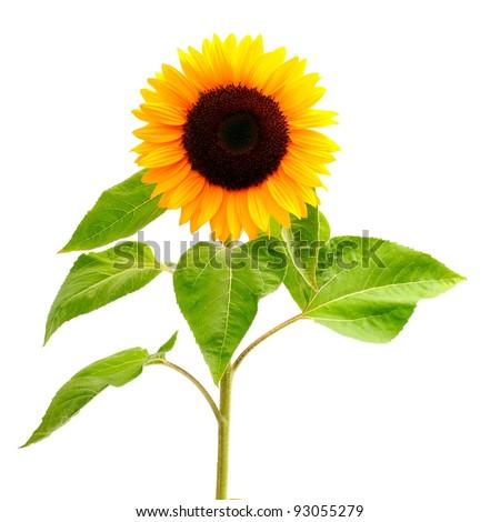 Ungroupable Sunflower Leaf S...