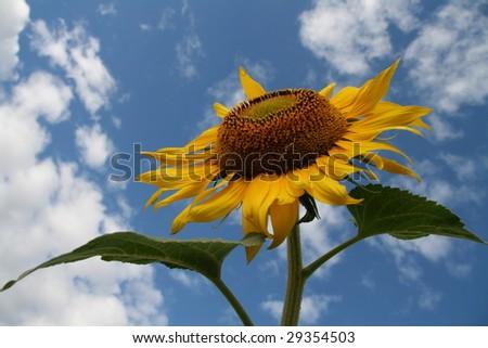 sunflower against a blue clouded sky - stock photo