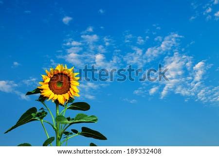 Sunflower against a blue sky - stock photo