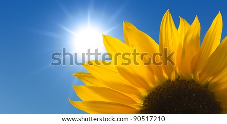 Sunflower against a sunny sky - stock photo