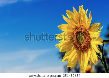 Sunflower against the blue sky. - stock photo