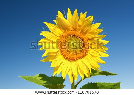 Sunflower against the blue sky.Nature composition.