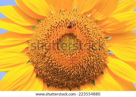 Sunflower and bee,closeup of the beautiful yellow sunflower with a bee