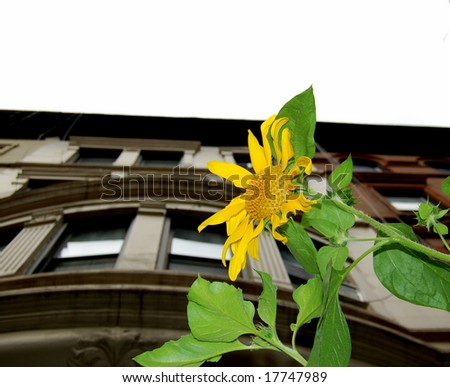 sunflower and building - stock photo